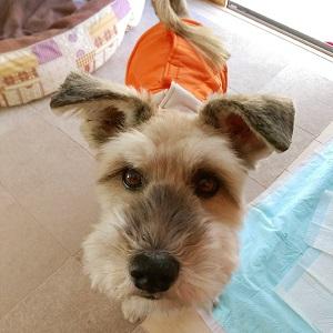 シニア犬テリア系クルトン